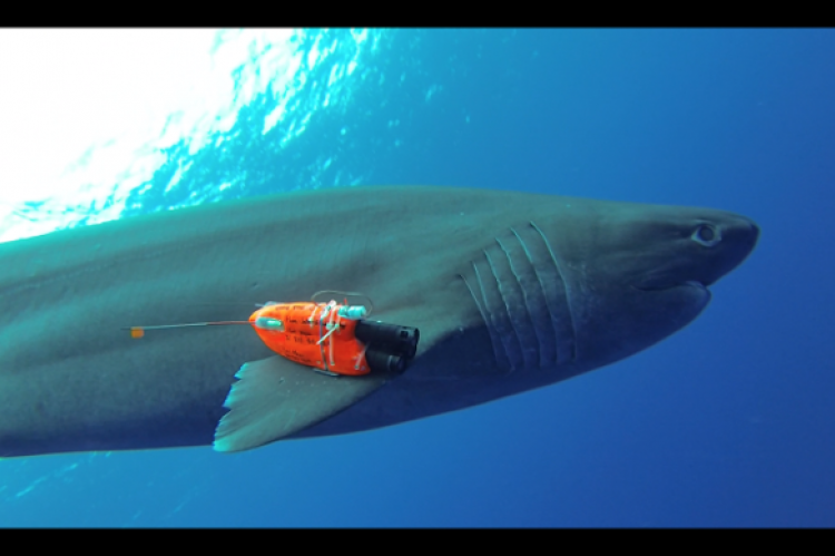 Sixgill shark fitted with instrument package