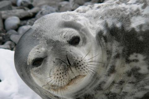 A curious Weddell seal