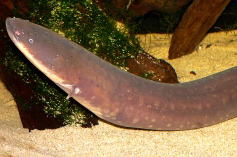 Electric eel in an aquarium in San Francisco