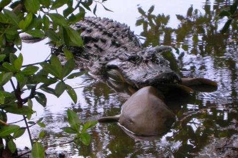 Alligator preying on a nurse shark.