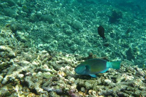 Coral reef affected by bleaching event, Grand Anse Praslin, Seychelles Islands
