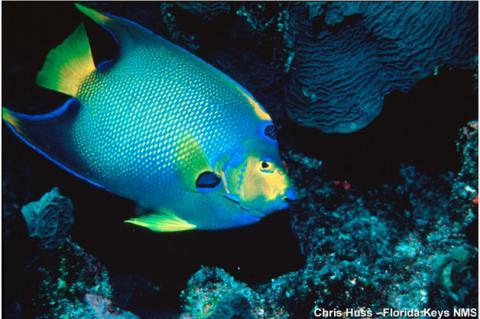 Butterflyfish in Florida Keys National Marine Sanctuary.