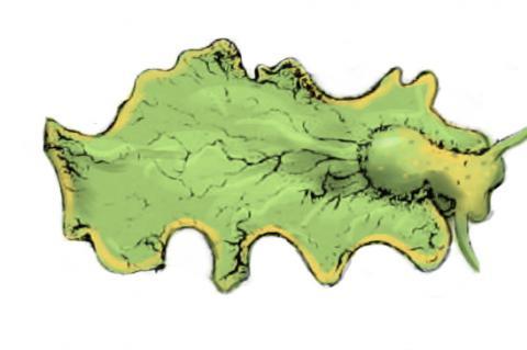 a chlorotica is a green sea slug