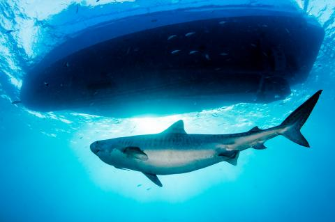Tiger shark inspects a boat