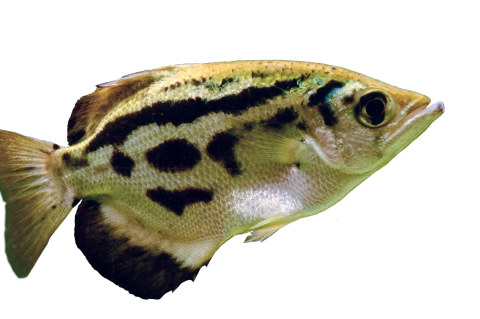 Archerfish are able to discriminate between human faces