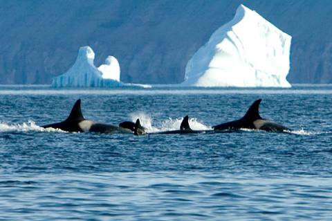 Killer whales in the Arctic.