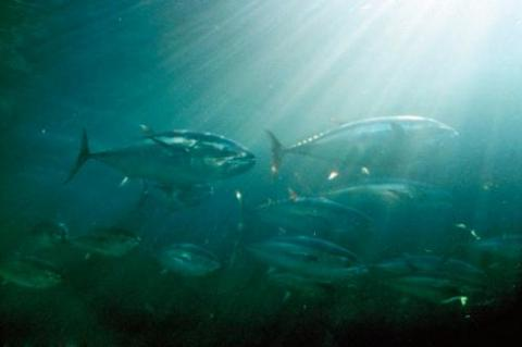Atlantic bluefin tuna is mainly caught from countries around the Mediterranean Sea.