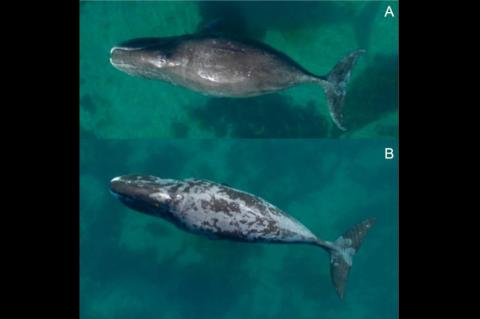 Example of a bowhead whale with nearly no sloughing skin (i.e., proportion of body with sloughing skin = <33%) (A), and another with a high degree of sloughing (>66% of body) and a blotchy skin type (B).