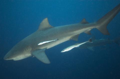 Bull shark.