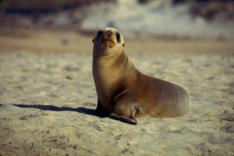 California Sea Lion pup.