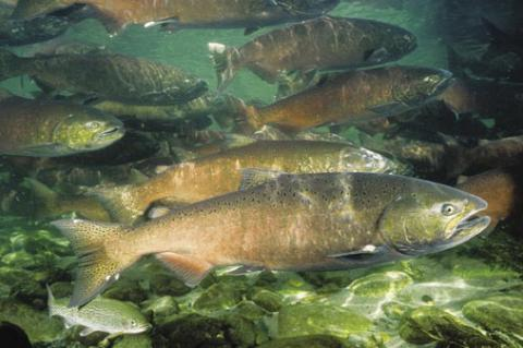 Researchers studied how young Chinook salmon found their way out of their nests