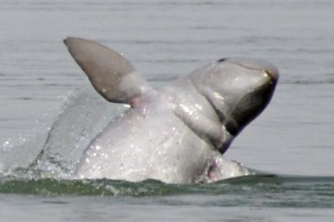 Jumping Irrawaddy dolphin at Mekong river, Kampi, Kratié, Cambodia in 2011.