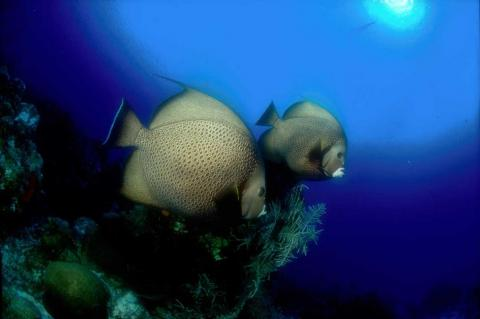The limits cover species including angelfish. In Puerto Rico, the commercial sector is limited to nearly 9,000 pounds of that species and the recreational sector to nearly 4,500 pounds.