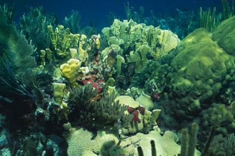 Shallow-water coral reef in the Florida Keyes with blade fire coral, boulder coral, soft corals and sponges.