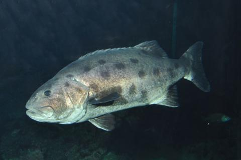Giant Sea Bass (Stereolepis gigas). Listed as Critically Endangered on the IUCN Red List of Threatened Species™