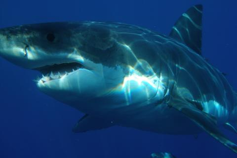 Great white shark, with fin intact.