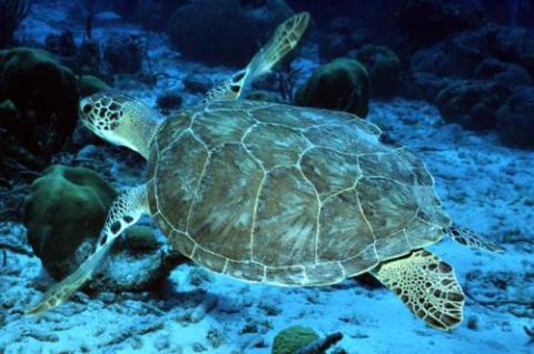 Green Turtle (Chelonia mydas).