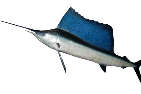 Blue marlins and many other billfish are high-energy fish that need large amounts of dissolved oxygen.