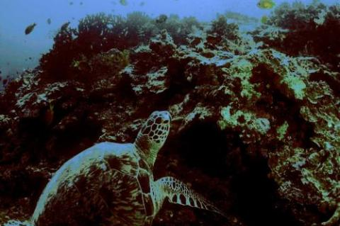 Green turtle resting on reef.