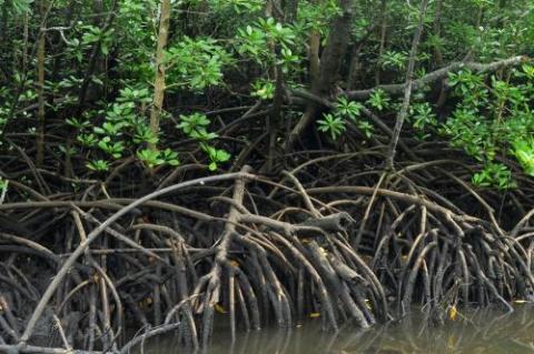 Mangrove forest.