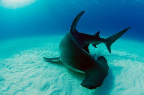 Hammerhead, Bahamas