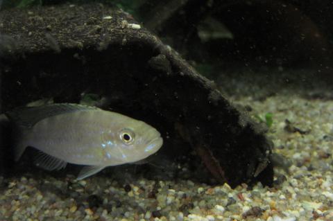 Juvenile <i>Perissodus microlepis</i> fish.