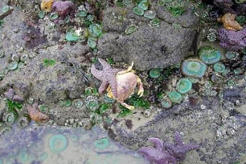 Tide pool sea stars feast on Dungeness crabs that suffocated in the low oxygen waters of a dead zone.