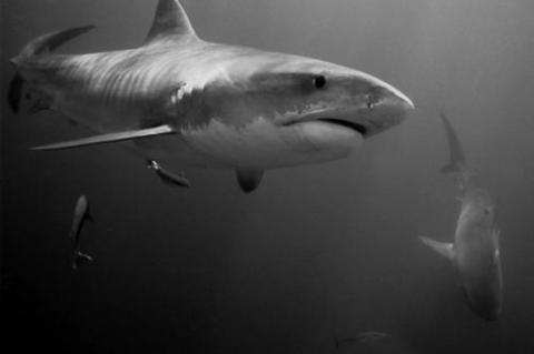Tiger sharks.