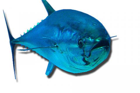 Northern bluefin tuna captured in an aquarium.