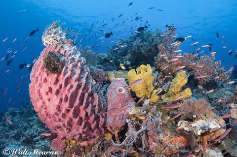 Indo-pacafic, Indonesia, Wakatobi, Coral Reefs, Soft Corals, Sponges, Reef Fish, Dive site Blade