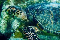 Adult hawksbill turtle.